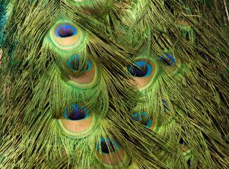 peacock texture 4